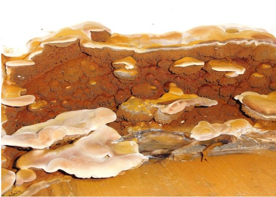 Traitement mérule champignon
